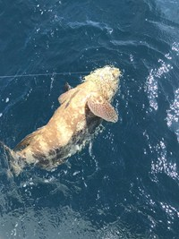 Large grouper on the line outside of Fort Myers