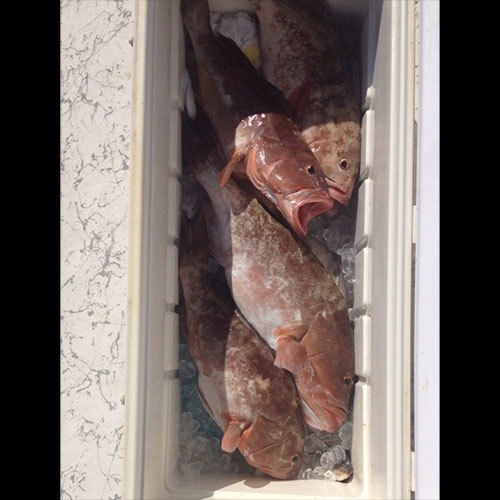Second Cooler Full of Grouper Caught on Ft Myers Fishing Charter