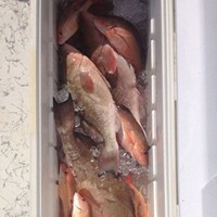 Cooler Full of Grouper Hooked on Cape Coral Fishing Charter