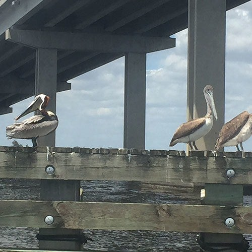 Pelicans Seen on Deep Sea Charter