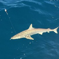 Blacktip Shark Caught on Ft Myers Deep Sea Fishing Charter