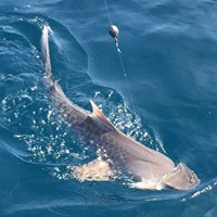 Tiger Shark Fishing Off the Coast of Cape Coral