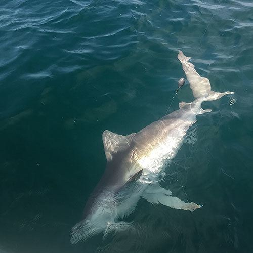 Blacktip Shark Fishing Near Ft Myers
