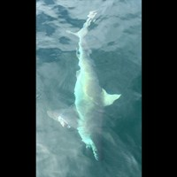 Cape Coral Shark Fishing Charter out of Tarpon Point Marina