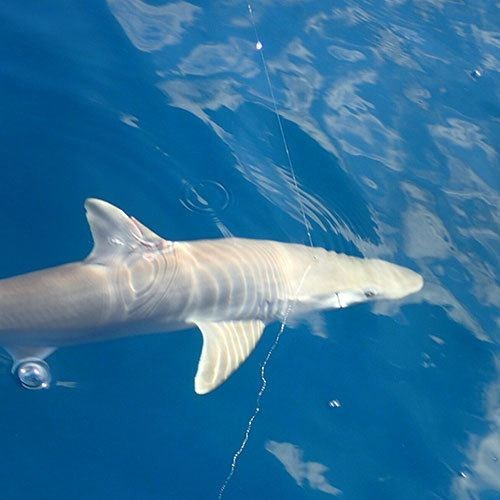 Shark Fishing in Cape Coral with Crabby Charters