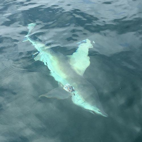 Fishing for Shark Off the Coast of Ft Myers with Crabby Charters