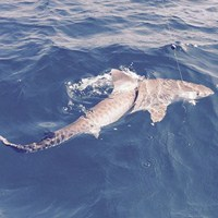 Tiger Shark Hooked Off the Coast of Ft Myers