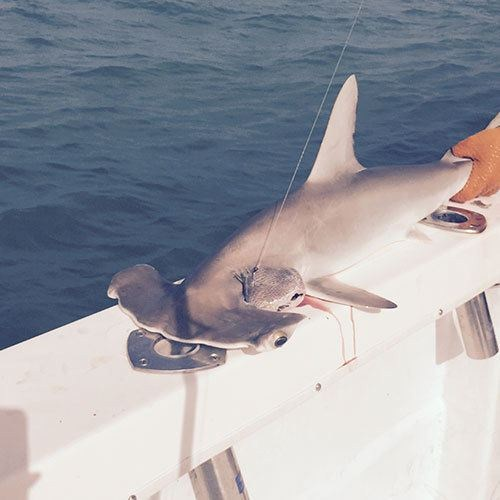 Hammerhead Shark Caught on Ft Myers Deep Sea Fishing Charter
