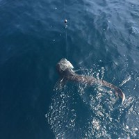 Shark Fishing Charter Off the Coast of Ft Myers