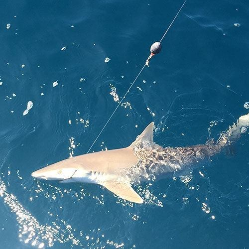 Deep Sea Shark Fishing Charter in Cape Coral