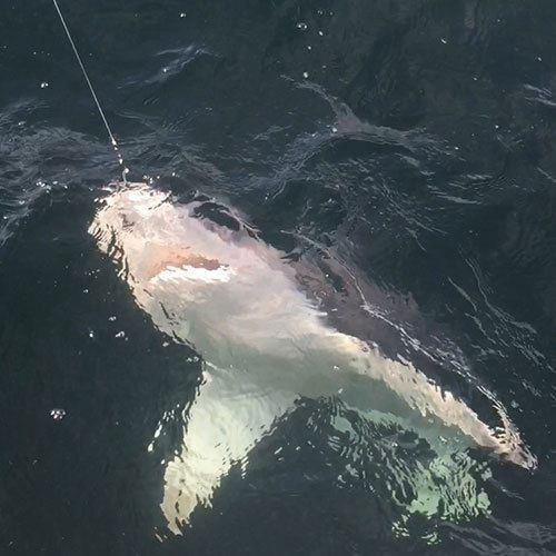 Fearsome Shark Hooked on Cape Coral Shark Fishing Charter