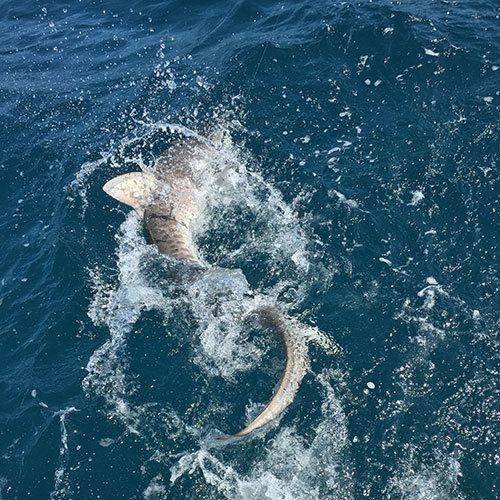 Thrashing Shark on Crabby Deep Sea Fishing Charter