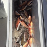 Box of Snapper After Ft Myers Deep Sea Fishing Charter